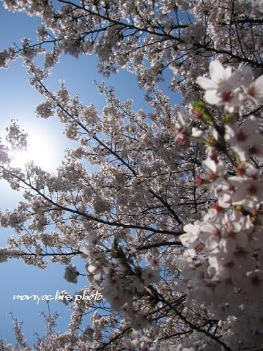 monyo-sakura00.jpg