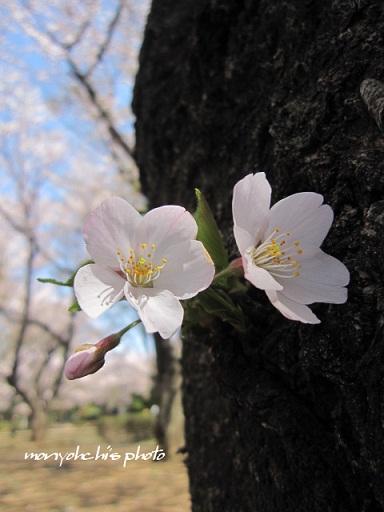 monyo-sakura02.jpg